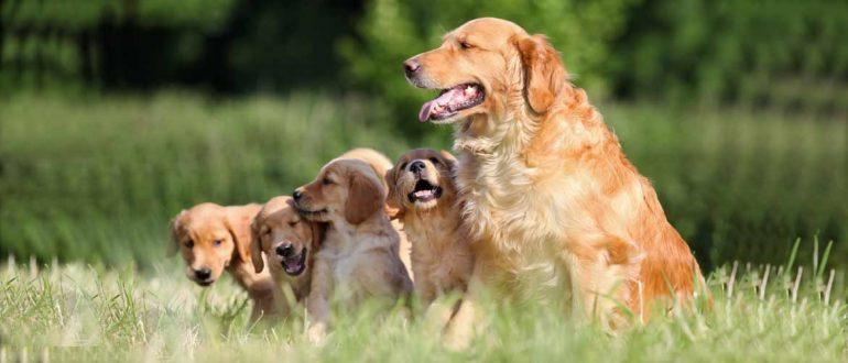 Собака со щенками