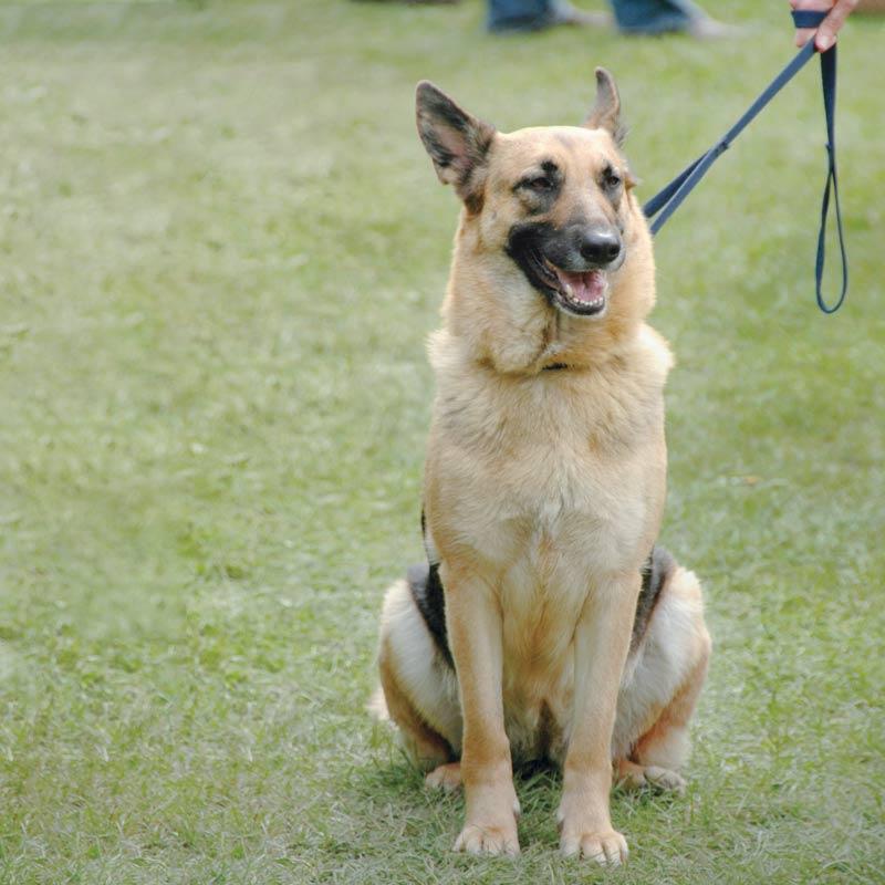 Собака на коротком повадке